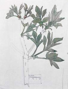 By Mackintosh - Study of a plant