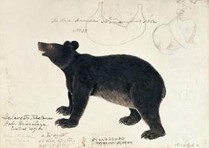 By unknown author of 19th century - Depiction with notes of the famous black bear of Himalaya region